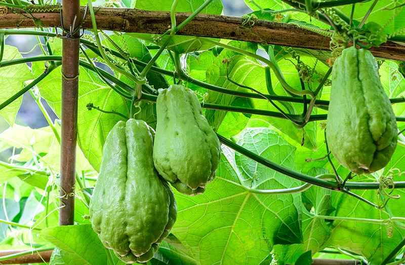 Story Of The Legendary Ishkus Plant Chayote The