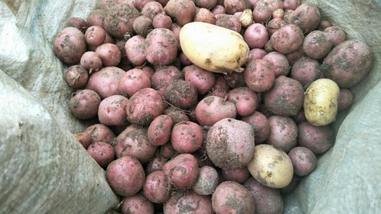 Darjeeling red round potato
